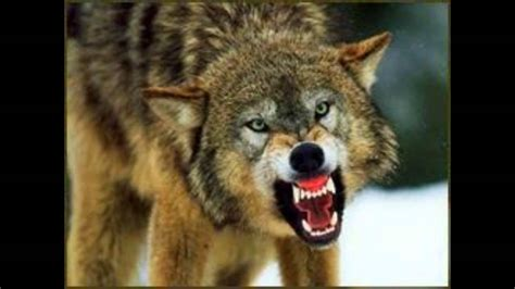 how to your to growl scary wolf growling