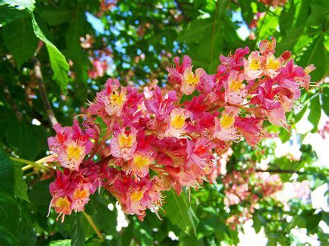 fiori castagno fiore di castagno rosa 183 foto gratis su pixabay