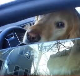 golden retriever driving shows self driving car leave driveway with