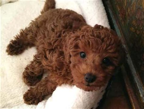 miniature poodle puppies for sale 220 ber 1 000 ideen zu poodle puppies auf zwergpudel standard