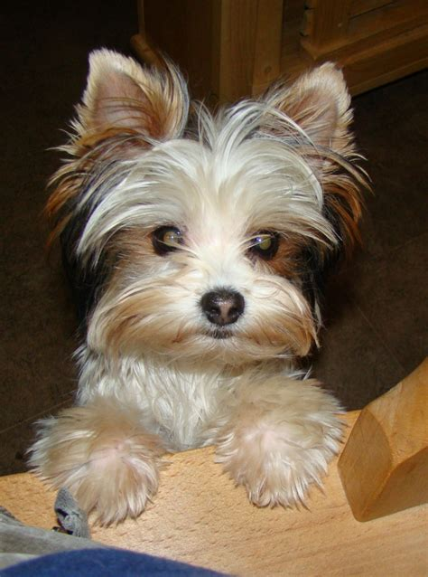 where can i get a yorkie for cheap 100 biewer terrier puppies available in biewer terrier puppies available here