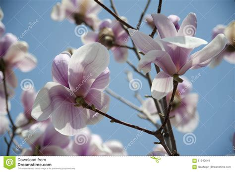 Magnolia Tree Shedding Leaves by In The Of Magnolia Stock Image Image Of Meters
