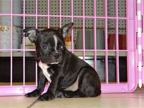 free puppies montgomery al boston terrier puppies dogs for sale in montgomery alabama al 19breeders