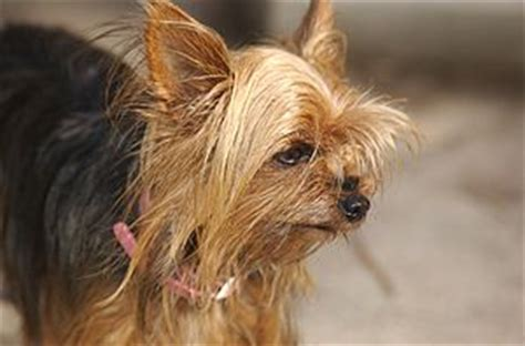 liver problems in yorkies 5 things your yorkie should not eat