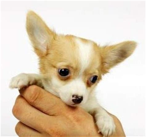chihuahua puppy care how to take care of a chihuahua the chihuahua information center