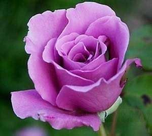 Perlengkapan Tanam Polybag Besar Ukuran 35 X 35 jual bibit unggul tanaman mawar ungu wangi bibit