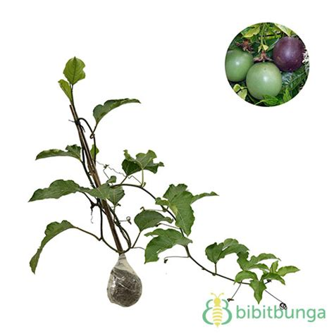 Harga Bibit Markisa tanaman markisa fruit bibitbunga