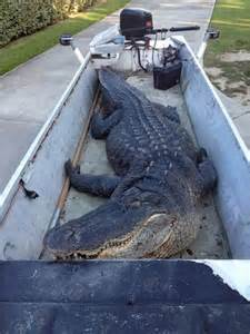 Records Louisiana Hunters Snag Gator In La Ny Daily News