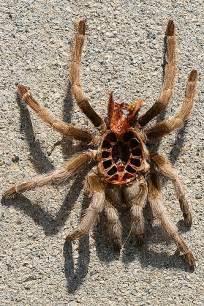 tarantula molt top flickr photo