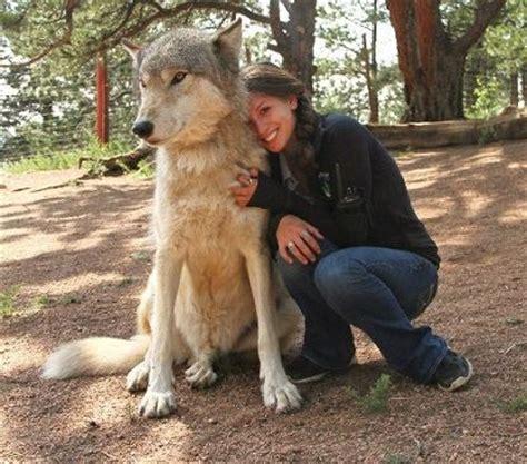 lobo gigante el amor entre danielle y el gigante lobo kekoa videos de