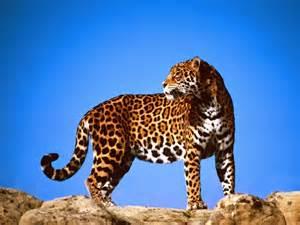 Ta Jaguar Jaguar Panthera Onca Naturaleza Ins 243 Lita