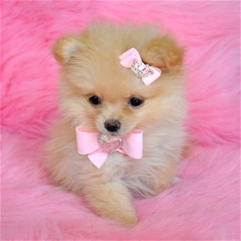 pomeranian puppies for sale new orleans genuine miniature teacup pomeranian puppies for sale uk m5x eu