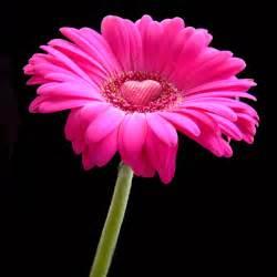fifi flowers gerberas pugs paris
