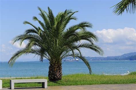 palma pianta da giardino palma pollicegreen