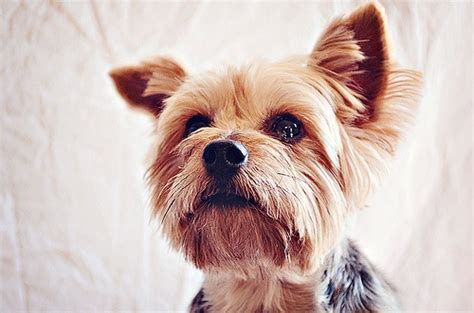 what are yorkies allergic to how to express your s glands lottielou your dogs and tips