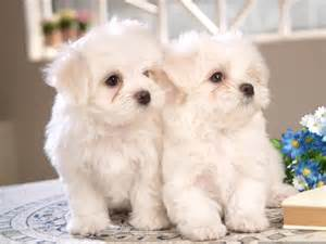 Maltese Puppies Two Maltese Puppies Dogs Picture
