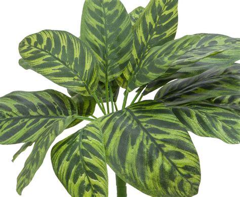zimmerpflanzen ranken calathea bestellen