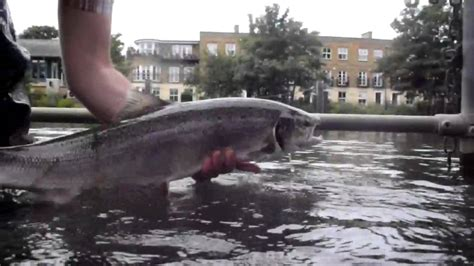 thames river salmon thames salmon youtube
