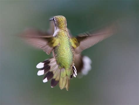file hummingbird aerodynamics of flight jpg wikimedia