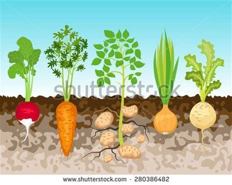 vegetables underground 10 best root vegetables project images on root