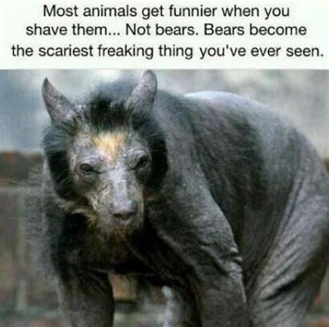 Hairless Bear Meme - shaved bears funny