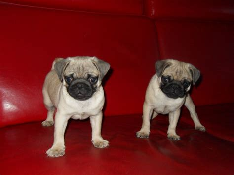 pug puppies for sale nottingham 2 pugs for sale boy and nottingham nottinghamshire pets4homes