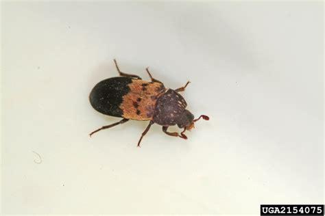 House Beetles by Dermestes Lardarius Bugwoodwiki