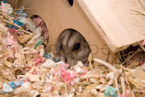 hamster haus hamster im haus stockfoto colourbox