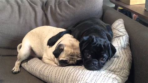 two pugs image gallery two pugs