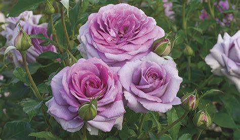 Wholesale Tropical Plants - weeks roses wholesale rose grower