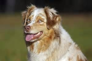 merle color blue merle australian shepherd color breeds picture