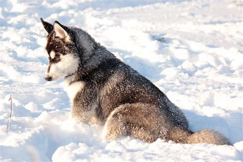 snow dogs names snow dogs 29 animals