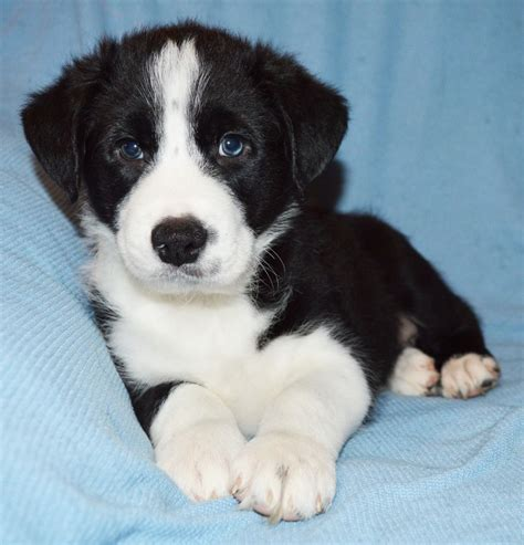 border collie puppies for sale border collie puppies for sale border collie breeder uk