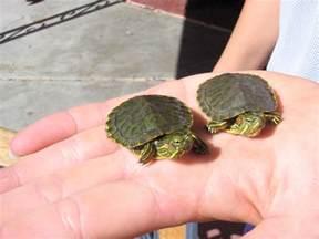 baby turtle care eared sliders painted turtles etc