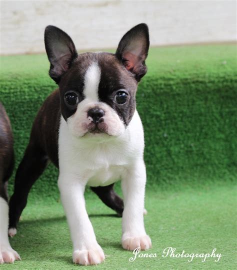 boston terrier puppies maine boston terrier home page circle j boston terriers