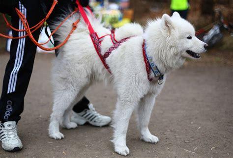 best dogs for running the best harness for running in 2016 goaheadrunner