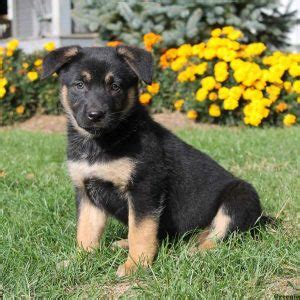 german sheprador puppies german sheprador puppies for sale in md nj de ny va philly baltimore and dc