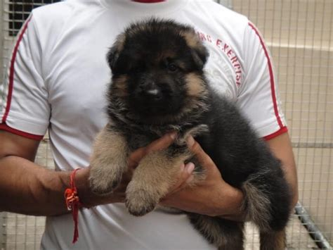 pom a pug for sale pin shepherd lab pug rottweiler pom puppies for sale in hyderabad on