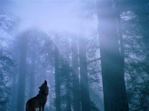 imagenes de lobos taringa imagenes de lobos im 225 genes taringa
