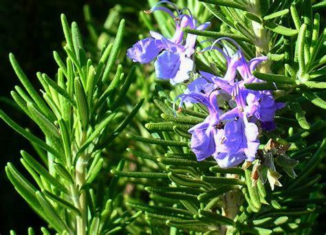 menanam lavender hidroponik 9 tanaman yang dapat membantu anda menghilangkan rasa