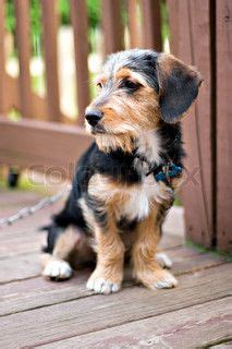 beagle yorkie mix 1000 images about puppy on poodle mix bedlington terrier and shar pei mix