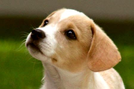 beagle terrier mix puppy mix fox terrier photo happy heaven