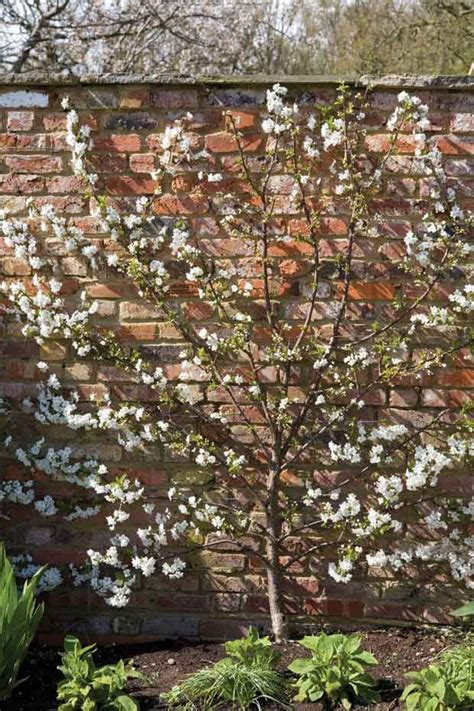 b q cherry tree espalier cherry trees images