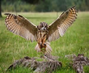 Barn Spider Lifespan Eagle Owl Facts Eagle Owl Diet Habitat And Behavior