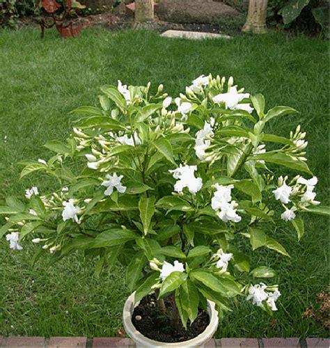 fragrant indoor plants butterfly gardenia tabernaemontana coronaria plena