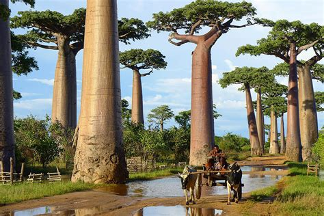 most amazing trees 16 of the most magnificent trees in the world bored panda