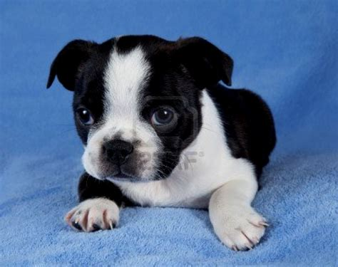 rescue puppies ma boston terrier puppies massachusetts puppies puppy