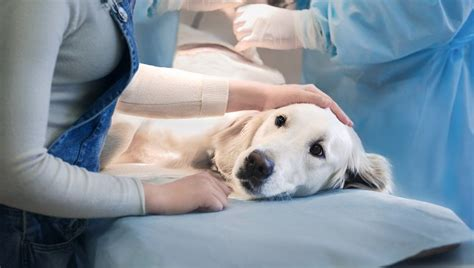 leukemia in dogs leukemia in dogs symptoms causes and treatments finder tips
