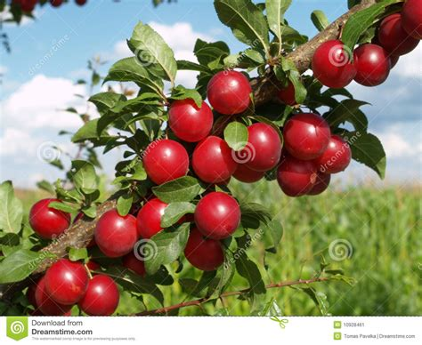 Red Plums On Tree Stock Image Image Agriculture