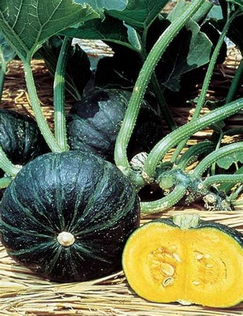 Table Squash by Table King Squash Heirloom Seeds Pack Of 25 Greenmylife
